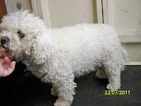 Bichon before photo